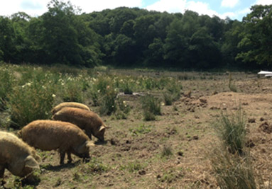 Pigs at Weston Farm
